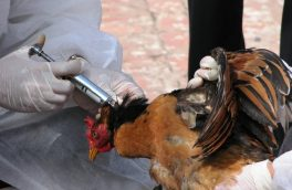 آیا خوردن بال مرغ مضر است ؟