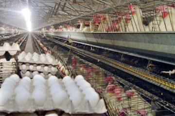 قیمت تخم مرغ در بازار چقدر است ؟