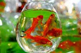با ماهی قرمز چهکار کنیم؟