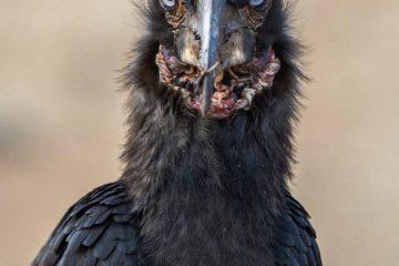 این پرنده به خاطر زشتی بسیار جلب توجه می کند/ تصویر